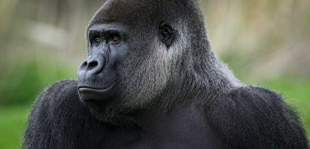 Ambam, a Western Lowland Gorilla, explores his enclosure at Port Lympne Wild Animal Park near Ashford, Kent April 11, 2014, as keepers prepare to celebrate his 24th birthday on Monday. (Photo by Gareth Fuller/PA Wire)