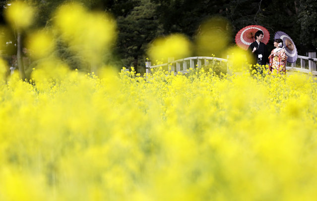 A couple wearing  Japanese traditional kimono pose for a wedding photo by a rapeseed oil field at Hamarikyu Garden in Tokyo, Friday, February 10, 2017. The flowers are expected to remain in full bloom until the end of March. (Photo by Eugene Hoshiko/AP Photo)