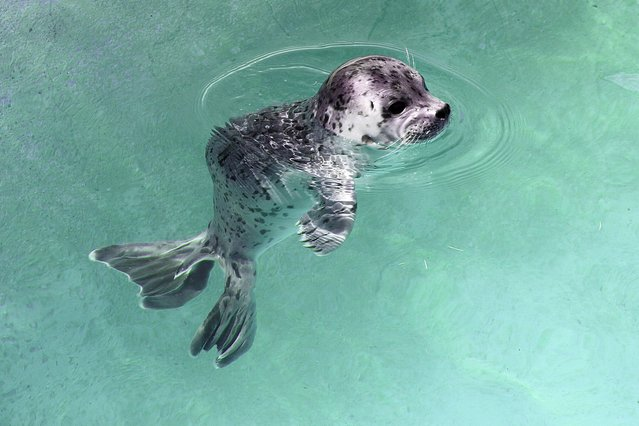 In this photo provided by Six Flags Discovery Kingdom, Lily, a three-day-old Pacific harbor seal pup, swims at Six Flags Discovery Kingdom in Vallejo, Calif., Tuesday, April 22, 2014. The 20-lb. black, grey and white spotted seal pup was born on April 19 at the park's Seal Cove exhibit. Pups double their weight within the first four to six weeks, nursing on the rich mother's milk, which is about 45 percent fat, and then is weaned. (Photo by Nancy Chan/AP Photo/Six Flags Discovery Kingdom)