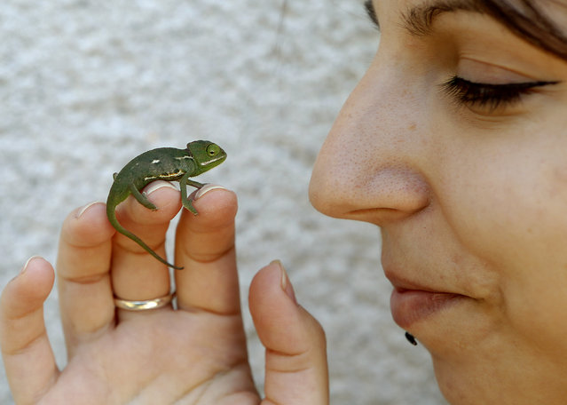 A baby Yemen chameleon (Chamaleo calyptratus) crawls on the fingers of veterinarian Lidija Stanisic at her house in the outskirts of Zagreb, Croatia, May 19, 2014. Eight baby chameleons came into the world at the veterinarian house a few weeks ago. (Photo by Antonio Bat/EPA)