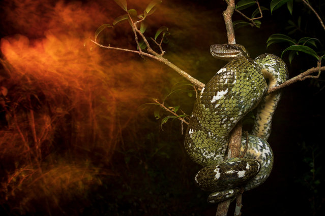 """Overall winner: Red night by Roberto García Roa (University of Valencia), taken in Madagascar. """"A Malagasy tree boa perches in a tree. The Malagasy tree boa (Sanzinia madagascariensis) is a non-venomous snake species endemic to Madagascar. Large individuals have become difficult to find in some areas surrounding human settlements. Fires produced by humans and poaching are only some of the threats faced by the snakes"""". (Photo by Roberto García Roa/2019 British Ecological Society Photography Competition)"""