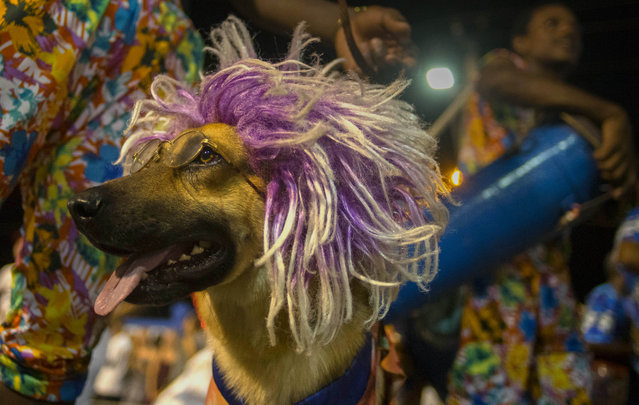 In this July 25, 2015 photo, a costumed dog parades during the carnival in Santiago, Cuba. A potential draw to this city, particularly for American tourists, is the memorial to Theodore Roosevelt's Rough Riders, who fought on the city's San Juan Hill in one of the most famous battles of the Spanish-American War that freed Cuba from Spanish rule. (Photo by Ramon Espinosa/AP Photo)