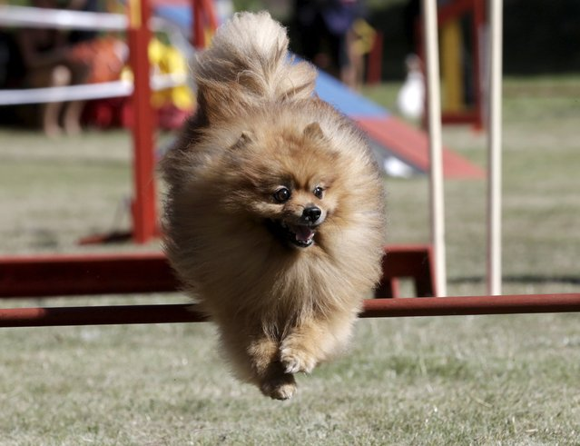 A dog jumps over an obstacle during the International Agility Riga Cup competition in Riga, Latvia, August 15, 2015. (Photo by Ints Kalnins/Reuters)