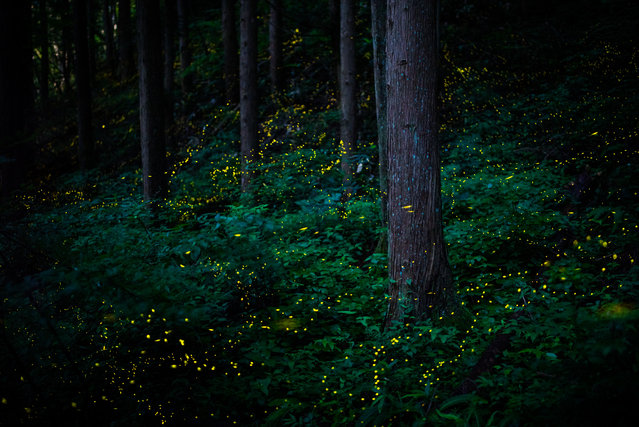 Natural world and wildlife finalist. Himebotaru is a type of firefly that measures just 6mm long and lives in the forest. Both males and females emit a short burst of strong light – the males at a rate of once a second and females once every two or three seconds. (Photo by Masahiro Hiroike/Sony World Photography Awards)