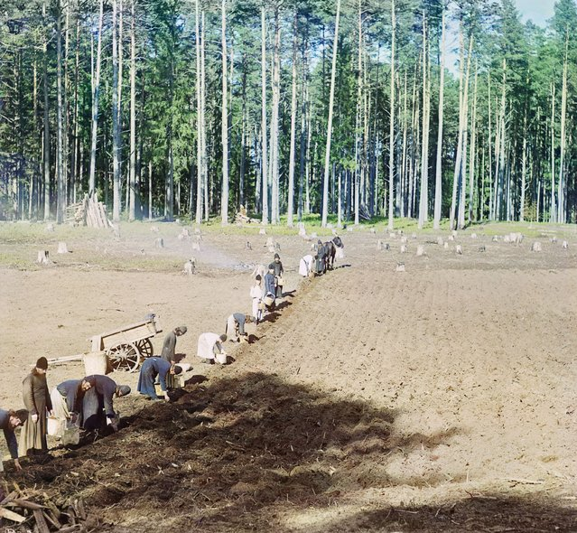 Photos by Sergey Prokudin-Gorsky. Monks at work (Gethsemane Monastery). Planting potatoes. Russia, Tver Province, Ostashkov County, Isle of Gorodomlya, 1910