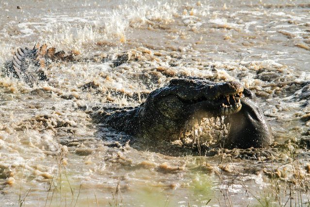 An enormous crocodile mauls a young hippo calf carcass near Lower Sabie on May 11, 2014, in Kruger National Park, South Africa. An enormous crocodile tosses around a young hippo calf caught in its lethal jaws. (Photo by Roland Ross/Barcroft Media)