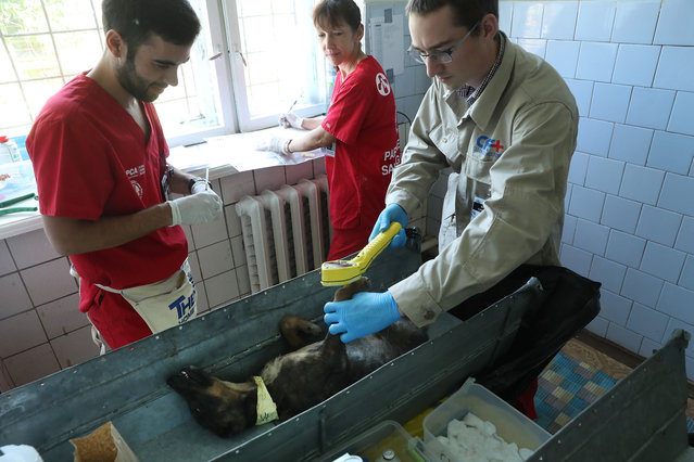 "Jake Hecla (R), a graduate student in nuclear engineering at the University of California, Berkeley, uses a ""frisker"" Geiger counter to measure radiation on the paws and fur of an anesthetized stray dog before surgery as Portuguese veterinarian Filipe Pequito and volunteer Kerry Anne O'Connor look on at a makeshift veterinary clinic inside the Chernobyl exclusion zone on August 17, 2017 in Chornobyl, Ukraine. (Photo by Sean Gallup/Getty Images)"