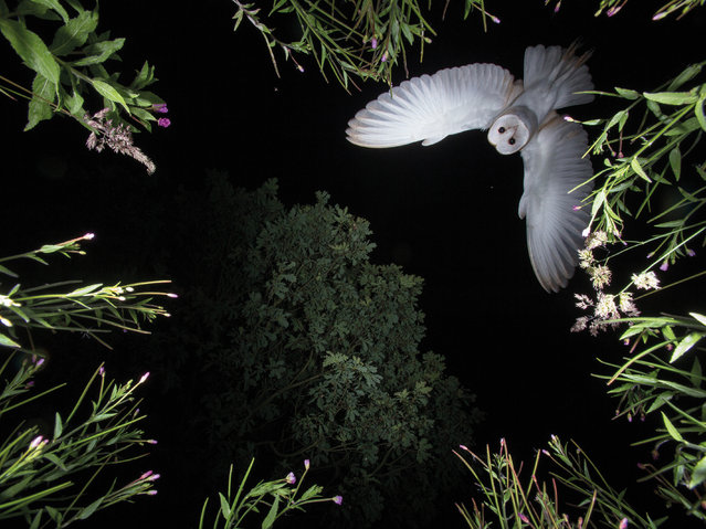 Barn owl hovering by Roy Rimmer, UK. Category: bird behaviour. Barn owl (Tyto alba), Wigan, UK. (Photo by Roy Rimmer/2017 Bird Photographer of the Year Awards)