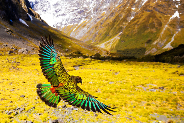 Kea are the only true alpine parrots in the world and thrive as cunning opportunists in the freezing conditions of the Southern Alps. Kea are thought to have developed their wide array of food-finding strategies during the last great ice age, where they learned to adapt using their unusual powers of curiosity. (Photo by Tom Walker/BBC Pictures/The Guardian)