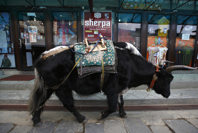 A yak walks past a clothing store in Namche, approximately 11155 feet above sea level in Solukhumbu District April 27, 2014. (Photo by Navesh Chitrakar/Reuters)