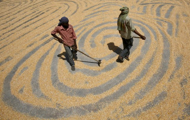Workers spread maize crop for drying at a wholesale grain market in the northern Indian city of Chandigarh in this June 12, 2012 file photo. India's summer-sown corn output is likely to drop more than 15 percent in 2015 as the first back-to-back drought in three decades wilts crops and forces farmers to let land lie fallow, trade and industry officials said. (Photo by Ajay Verma/Reuters)