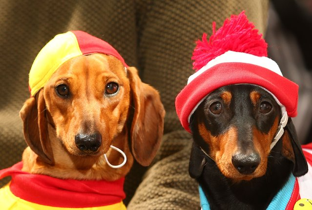 Willy, dressed as a surf livesaver and Mia, dressed as Where's Waldo? compete in the Hophaus Southgate Inaugural Best Dressed Dachshund competition on September 19, 2015 in Melbourne, Australia. (Photo by Scott Barbour/Getty Images)