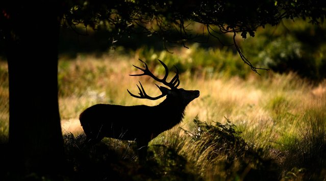 A red deer stag shelters under a tree in Richmond Park, London, on October 7, 2014. (Photo by Andrew Matthews/PA Wire)