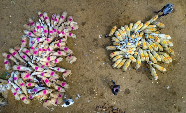 Flocks of sheep are brought to a market for sale on the outskirts of Fatehpur, India, Saturday, June 27, 2020. The sellers mark their sheep with differant colors for identification. (Photo by Rajesh Kumar Singh/AP Photo)