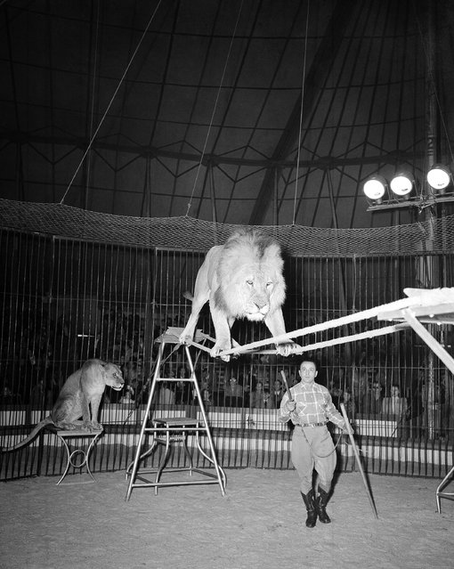 "Prince, six-year-old star of Michel Van Been's lion group, performs a balancing act on two ropes under the watchful eye of his French trainer in Frankfurt, Germany, October 6, 1950. Van Been's lions are one of the main attractions of the German circus Franz ""Tuffi"" Althoff. (Photo by Hanns J. Jaeger/AP Photo)"