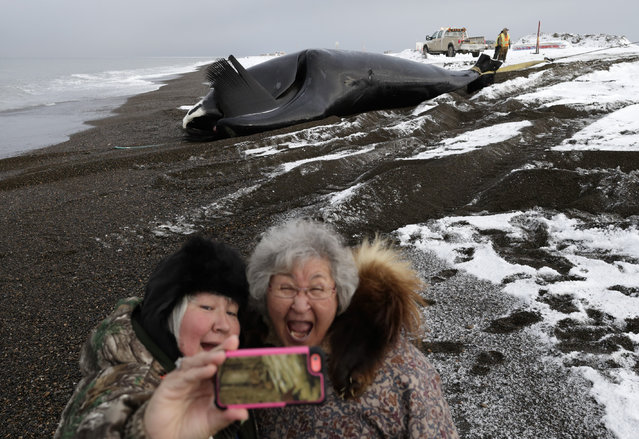 In this October 7, 2014, photo, Molly Pederson, right, and daughter Laura Patkotak take a picture as a bowhead whale caught by Alaska Native subsistence hunters from their family is brought ashore in Barrow, Alaska. Whaling is a community event in Barrow, as family members and town residents race to the beach to congratulate the hunters and help to butcher the catch. (Photo by Gregory Bull/AP Photo)