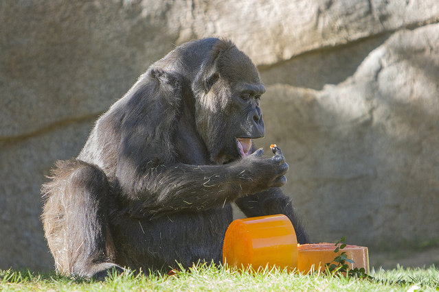 A 57-year-old western lowland gorilla prepares to eat some ice cake she received for her birthday Thursday morning November 6, 2014 at the San Diego Zoo Safari Park. The ice cake was colored with a sugar-free, orange-flavored drink mix, and Vila, and all the gorillas in the troop, took turns scraping cake onto their fingers or just licking the cake during the morning celebration. (Photo by AP Photo/San Diego Zoo Safari Park)