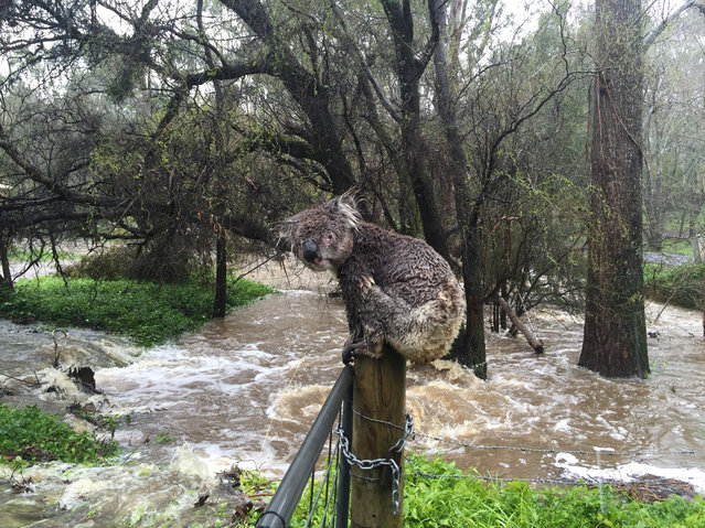 A koala soaked by floodwaters sits atop a fence post to escape the deluge in the town of Stirling in the Adelaide Hills of South Australia in this picture taken September 14, 2016. (Photo by Russell Latter/Reuters)