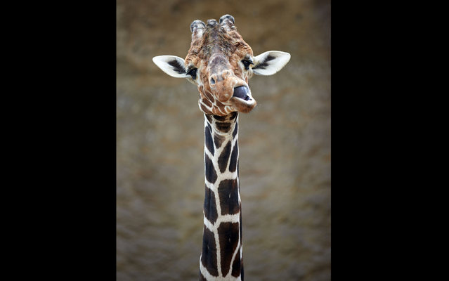 Giraffe cub in the Zoo of Duisburg, Germany, on March 8, 2013. (Photo by Bernd Thissen/AFP Photo)