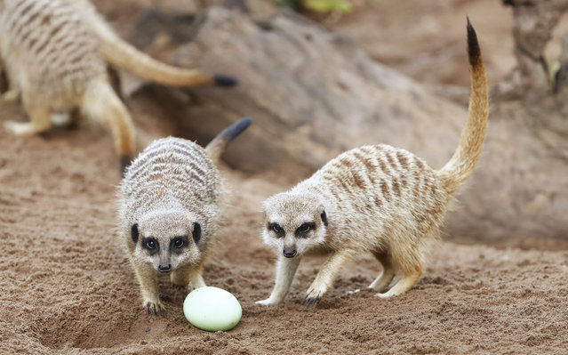 Meerkats play with Easter treats at Taronga zoo in Sydney, Australia on March 29, 2018. Keepers and animal behaviourists have offered Easter-themed treats and enrichment to several animals. (Photo by Daniel Munoz/AAP)