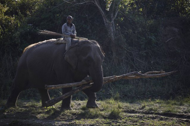 A Mahout rides his elephant carrying a tree trunk while returning from Chitwan National Park at Sauraha in Chitwan, south of Kathmandu, December 25, 2014. (Photo by Navesh Chitrakar/Reuters)