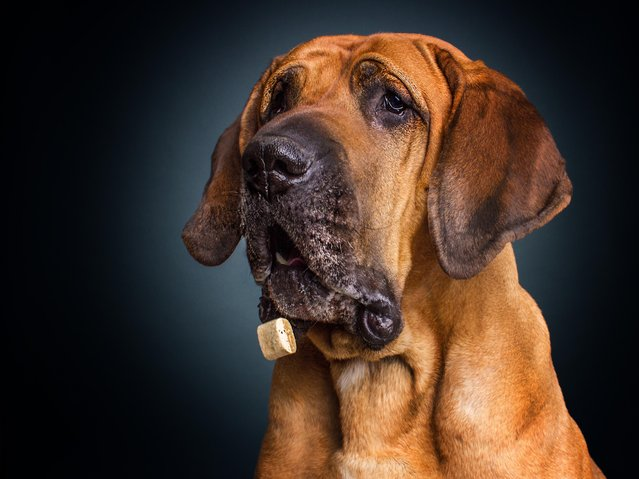 """A bloodhound. """"Dog's faces with magnificent lineaments, telling us stories of panic, desire and joy"""". (Photo by Christian Vieler/Caters News)"""