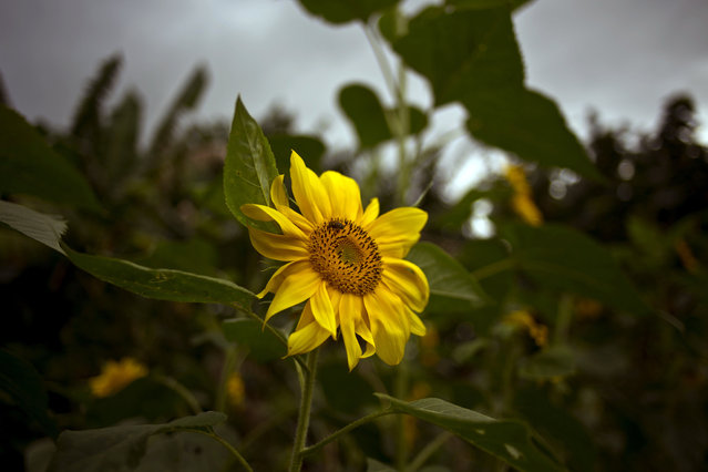 In this Thursday, January 29, 2015 photo, a wild bee forages on a sunflower on a farm where self-employed flower vendor Yaima Gonzalez Matos waits to buy, in San Antonio de los Banos, Cuba. (Photo by Ramon Espinosa/AP Photo)