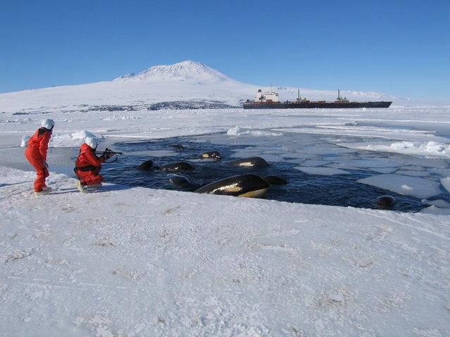 Killer Whales In McMurdo