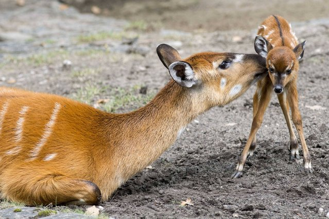 Mother Marshbuck licks her newborn fawn at Berlin Zoo in Berlin, Germany, on September 6, 2013. (Photo by Imago/Barcroft Media)