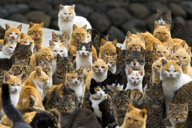 Cats crowd the harbour on Aoshima Island in the Ehime prefecture in southern Japan February 25, 2015. An army of cats rules the remote island in southern Japan, curling up in abandoned houses or strutting about in a fishing village that is overrun with felines outnumbering humans six to one. Picture taken February 25, 2015.  REUTERS/Thomas Peter