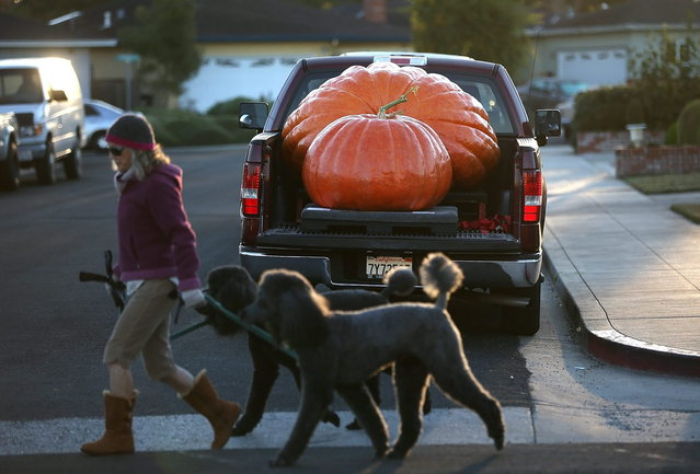 Giant pumpkins sit in the bed of a truck before the 40th Annual Safeway World Championship Pumpkin Weigh-Off on October 14, 2013 in Half Moon Bay, California. Gary Miller of Napa, California won the 40th Annual Safeway World Championship Pumpkin Weigh-Offgigantic pumpkin with a gigantic pumpkin that weighed in at 1,985 pounds. Miller took home a cash prize of $11,910, or $6.00 a pound. (Photo by Justin Sullivan/AFP Photo)