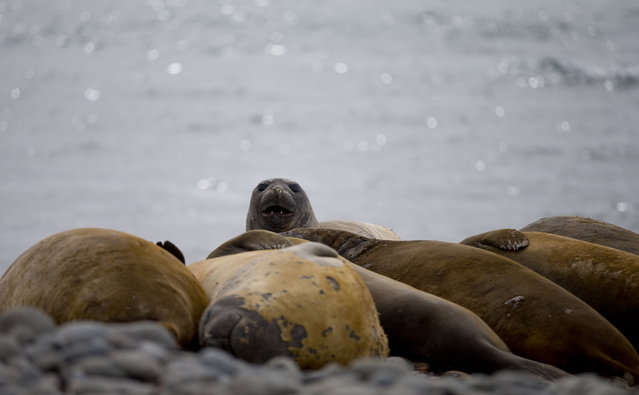 In this January 24 2015 photo, elephant seals rest on the beach in Robert Island, in the South Shetland Islands archipelago, Antarctica. It's the last terrestrial tourism frontier that nature lovers, adventurers and explorers are rushing to visit. This tourist season, which runs November through March, more than 37,000 people are expected to visit the coldest continent on Earth, about 10 percent more than last season. (Photo by Natacha Pisarenko/AP Photo)
