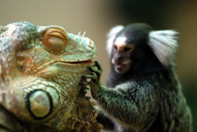 Green iguana & Marmoset. (Photo by In Cherl Kim)