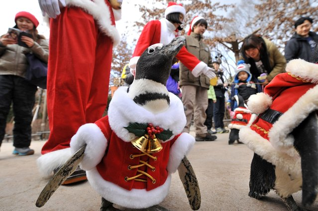 A penguin dressed in a Santa Claus costume is paraded at an amusement park for a promotional event ahead of Christmas in Yongin, south of Seoul, on December 18, 2013. (Photo by Woohae Cho/AFP Photo)