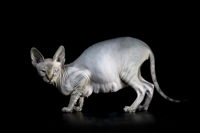 A photographer has captured the bizarre beauty of sphynx cats in a series of intriguing portraits. Creative Alicia Rius snapped them from different angles showing off their unusual flesh, colourings and bones. (Photo by Alicia Rius/Caters News)