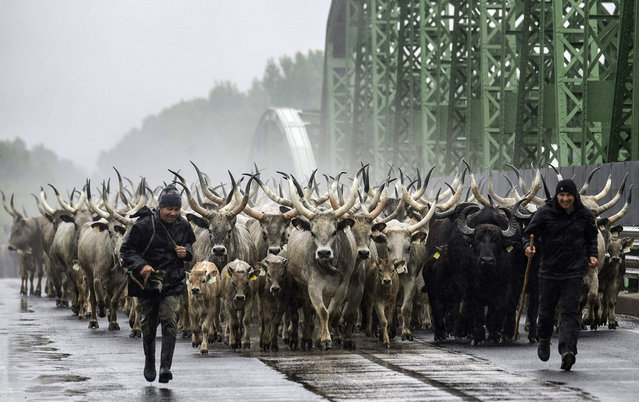 A large herd of grey cattle and buffalos move across a bridge over River Tisza as they are driven from their winter habitat in Tiszaug to their summer pasture in Tiszaalpar, Hungary, 02 May 2015. Grey cattle is an ancient, indigenous Hungarian species reared traditionally in the open air in the pusztas of the eastern half of Hungary all the year round. (Photo by Sandor Ujvari/EPA)