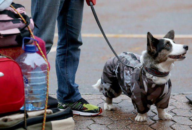 A dog wears a coat as it attends the first day of Crufts dog show at the NEC on March 6, 2014 in Birmingham, England. (Photo by Matt Cardy/Getty Images)
