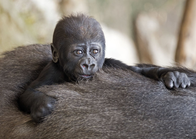 Baby gorilla Jengo relaxes on the back of his grandmother Viringika at the zoo in Leipzig, Germany, Wednesday, March 5, 2014. The baby gorilla weighs three kilograms and was born on December 2, 2013. (Photo by Jens Meyer/AP Photo)