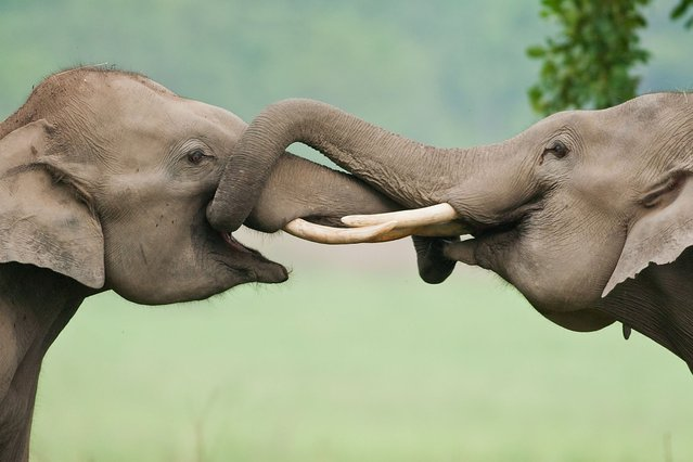 These elephants made up for the fact they can't hold hands – by winding their trunks together in a show of friendship. (Photo by Jagdeep Rajput/Solent News & Photo Agency)