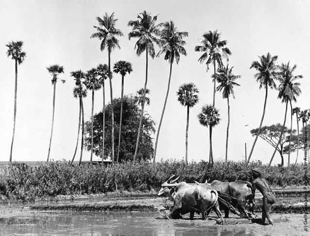 1955: A farmer guides two oxen ploughing a paddy field in central India
