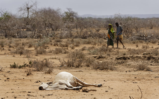 Villagers walk past the carcass of a dead cow in the drought-affected village of Bandarero, near Moyale town on the Ethiopian border, in northern Kenya Friday, March 3, 2017. (Photo by Ben Curtis/AP Photo)