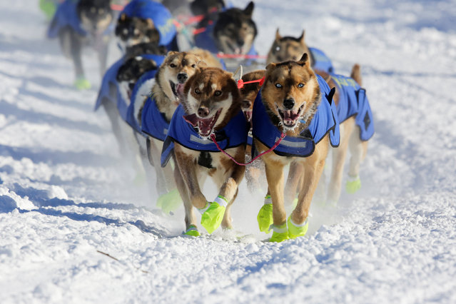Monica Zappa's team competes in the official restart of the Iditarod, a nearly 1,000 mile (1,610 km) sled dog race across the Alaskan wilderness, in Fairbanks, Alaska, U.S. March 6, 2017. (Photo by Nathaniel Wilder/Reuters)