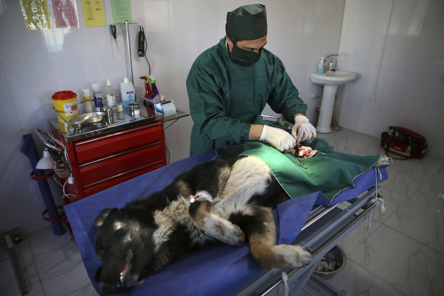 In this picture taken on Sunday, March 5, 2017, veterinarian Habib Golzardi performs a sterilization surgery on a stray dog at Aradkouh Stray Dogs Shelter on the outskirts of the capital Tehran, Iran. (Photo by Vahid Salemi/AP Photo)