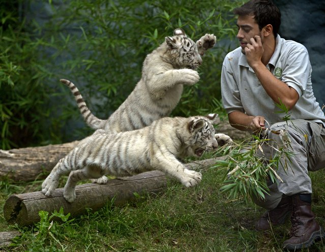 Two three-month-old female white Bengal tiger cubs play with a zoo keeper in their enclosure at the Buenos Aires' Zoo, in Argentina, on April 17, 2014. Captive white Bengal tiger Cloe, gave birth to three cubs – two females and one male – on January 14, 2014. (Photo by Juan Mabromata/AFP Photo)
