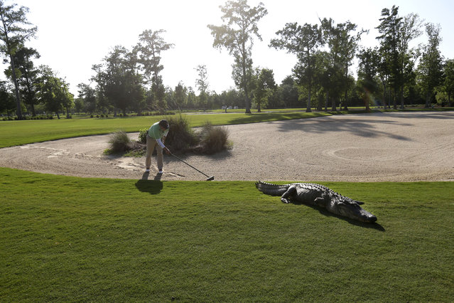 A worker grooms away tracks after an alligator crossed through a sand trap on the 14th hole during the first round of the PGA Tour Zurich Classic golf tournament at TPC Louisiana in Avondale, La., Thursday, April 25, 2013. (Photo by Gerald Herbert/AP Photo)