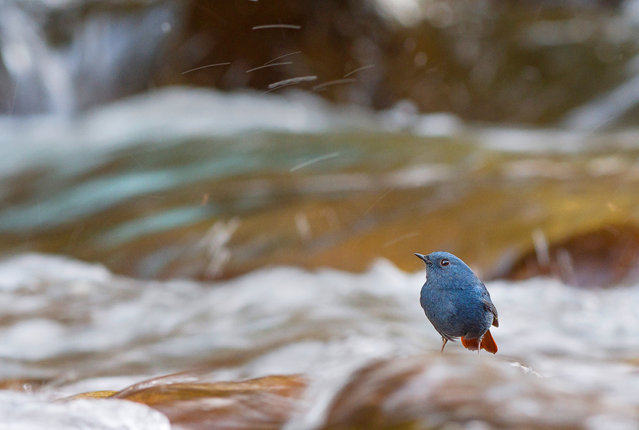 """Overall student winner: Flames in flumes by Nilanjan Chatterjee (Wildlife Institute of India), taken in Rishikesh, India. """"A plumbeous water redstart waits by the cascades to catch a mayfly or stonefly for a meal. River birds are one of the most specialist group of birds and depend on rivers to live. Numerous dams have threatened the flow of the river"""". (Photo by Nilanjan Chatterjee/2019 British Ecological Society Photography Competition)"""