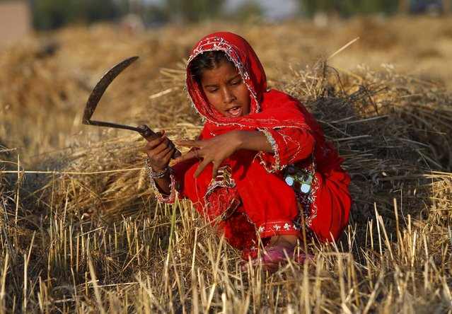 An Afghan girl works on a wheat field in Nangarhar province, Afghanistan May 14, 2015. (Photo by Reuters/Parwiz)