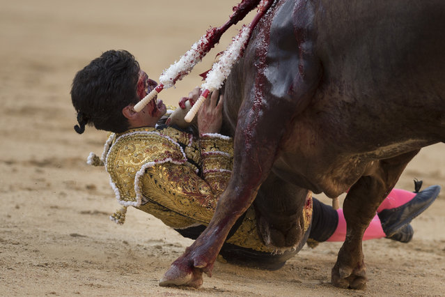 Spanish bullfighter Lorenzo Sanchez is gored by a Arauz de Robles's ranch fighting bull during a bullfight at Las Ventas bullring in Madrid, Spain, Sunday, July 26, 2015. Bullfighting is an ancient tradition in Spain. (Photo by Daniel Ochoa de Olza/AP Photo)