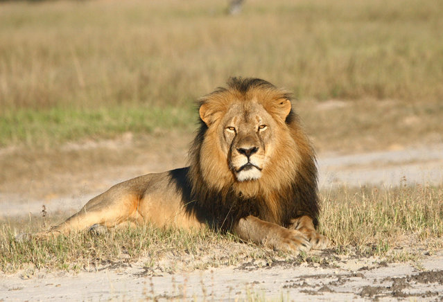 In this undated photo provided by the Wildlife Conservation Research Unit, Cecil the lion rests in Hwange National Park, in Hwange, Zimbabwe. Two Zimbabweans arrested for illegally hunting a lion appeared in court Wednesday, July 29, 2015. (Photo by Andy Loveridge/Wildlife Conservation Research Unit via AP Photo)