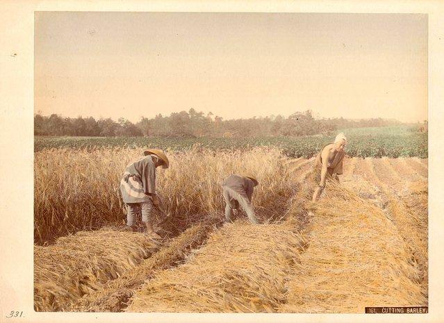Cutting Barley